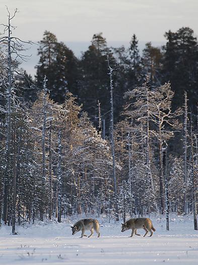 greywolf57.jpg
