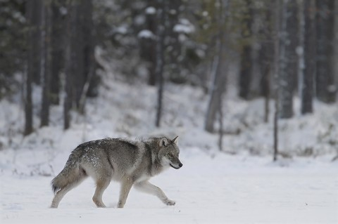 greywolf59.jpg