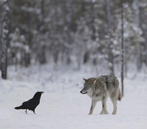 greywolf61.jpg