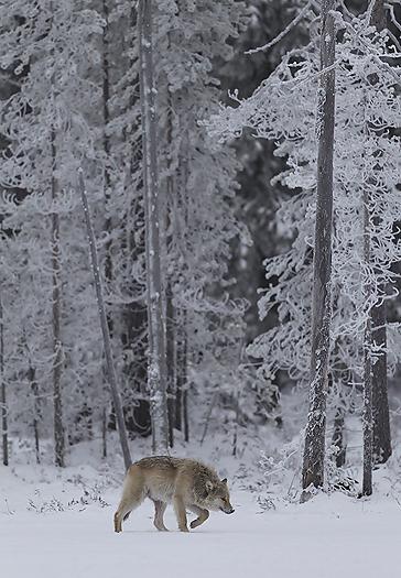 greywolf64.jpg