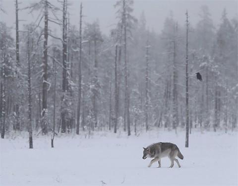 greywolf67.jpg
