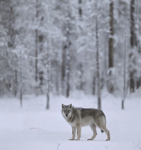 greywolf68.jpg