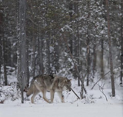 greywolf72.jpg