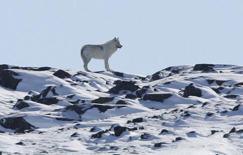 tundrawolf02.jpg