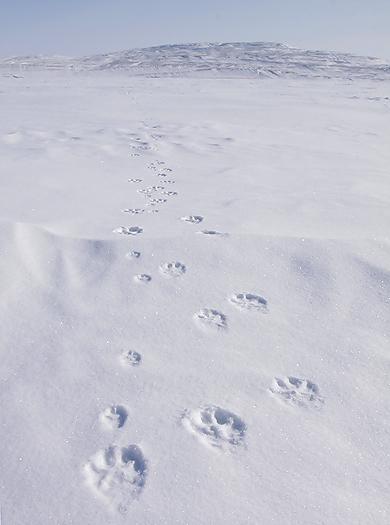 tundrawolf03.jpg