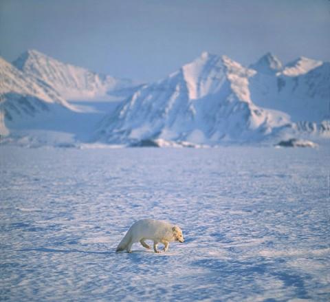 arcticfox1.jpg