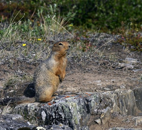 groundsquirrel1.jpg