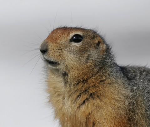 groundsquirrel26.jpg