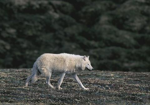 arcticwolf_ellesmere2.jpg