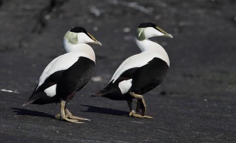 ducks62.jpg