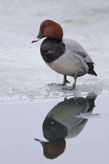 ducks56.jpg
