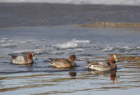 ducks28.jpg