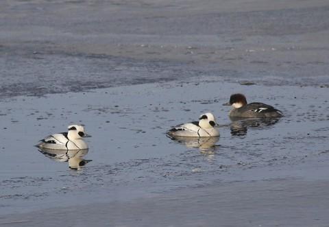 ducks30.jpg