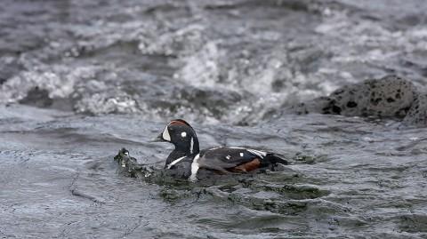 ducks38.jpg