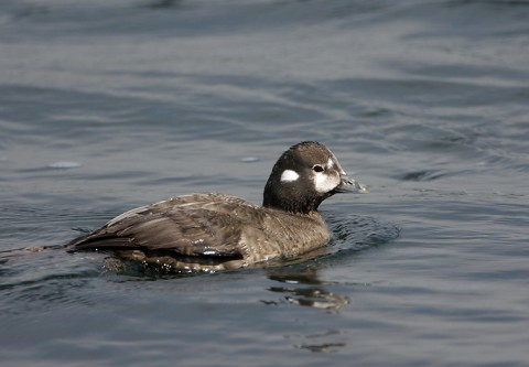 ducks39.jpg