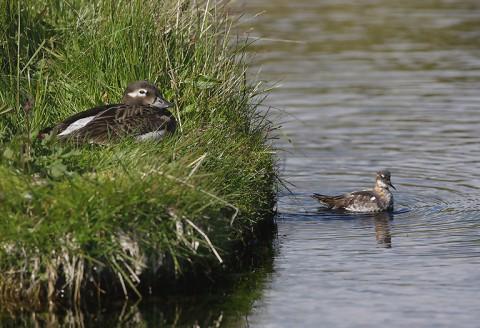 ducks46.jpg