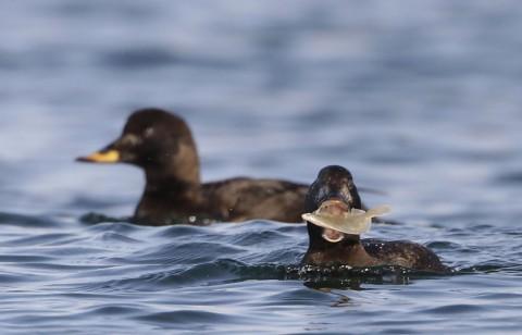 ducks50.jpg