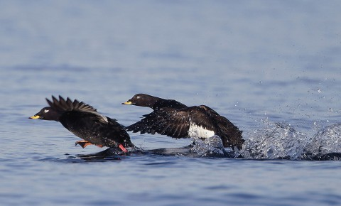 ducks51.jpg