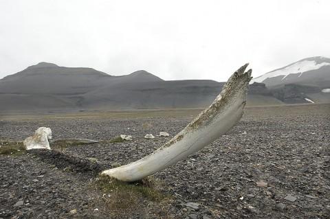 Old Greenland (Bowhead) Whale bone in Diskobukta, Edgeøya, Svalbard