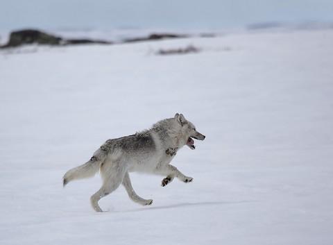 Tundrawolf_barrenlands7.jpg