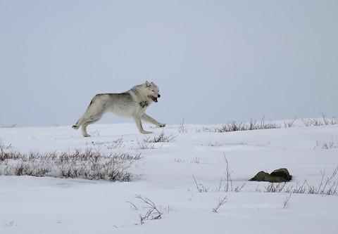 Tundrawolf_barrenlands8.jpg