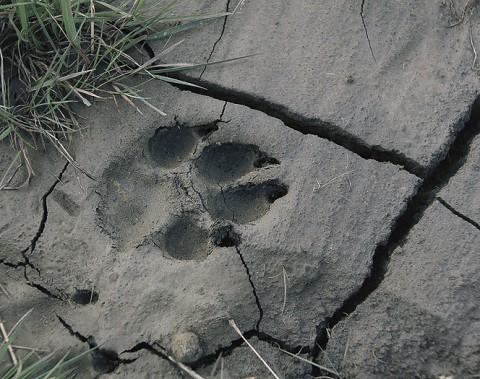 arcticwolf_ellesmere12.jpg