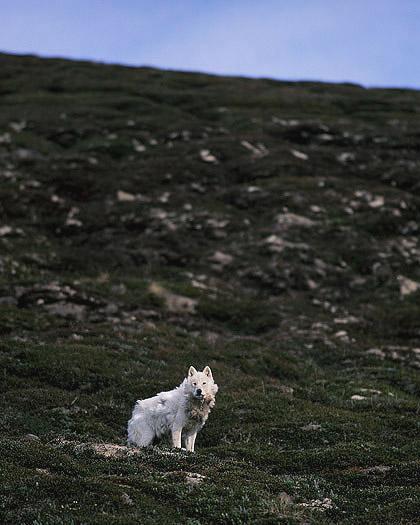 arcticwolf_ellesmere7.jpg