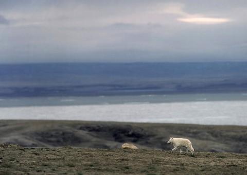 arcticwolf_ellesmere9.jpg