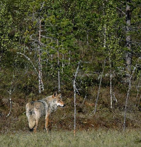 greywolf22.jpg