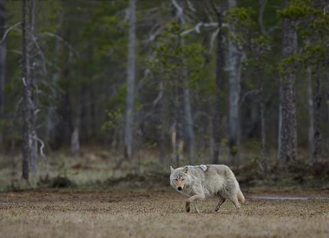 greywolf23.jpg