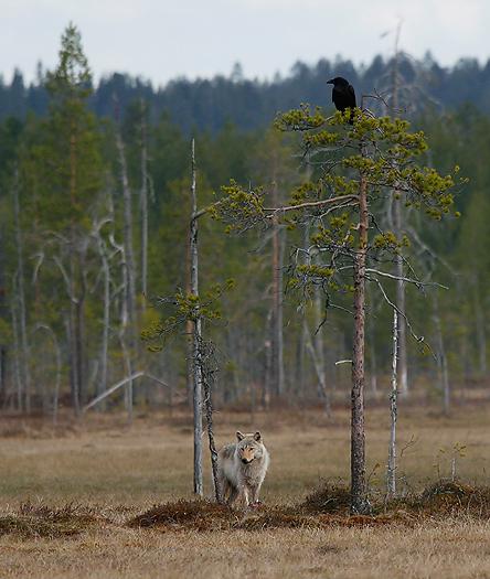 greywolf24.jpg