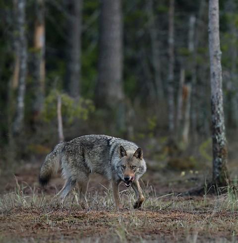 greywolf25.jpg