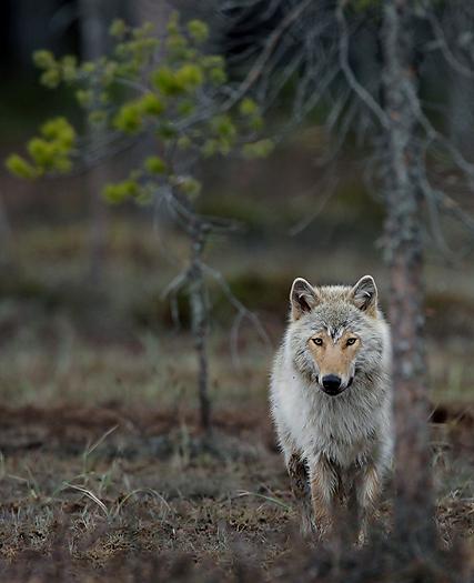 greywolf28.jpg