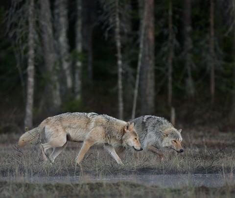 greywolf32.jpg