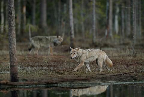greywolf33.jpg