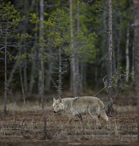 greywolf34.jpg