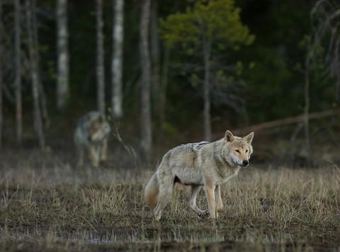 greywolf35.jpg