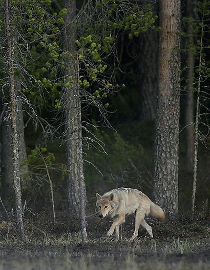 greywolf36.jpg
