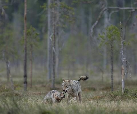 greywolf41.jpg