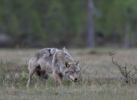 greywolf43.jpg