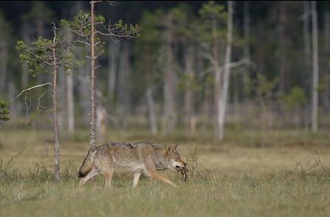 greywolf47.jpg