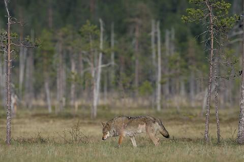 greywolf48.jpg