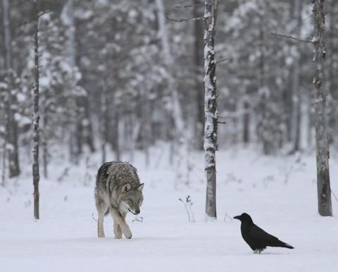 greywolf60.jpg