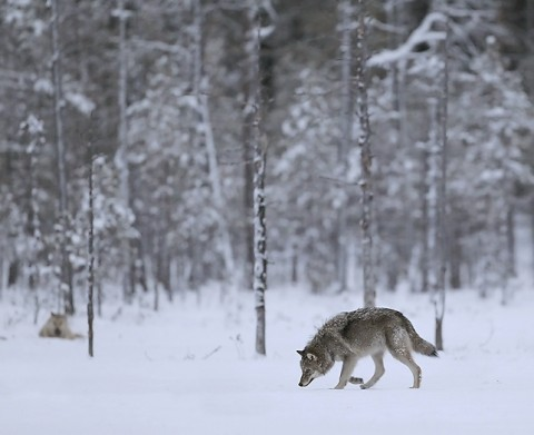 greywolf69.jpg