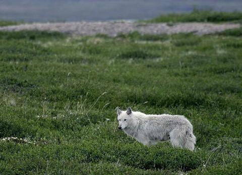 tundrawolf_barrenlands0.jpg