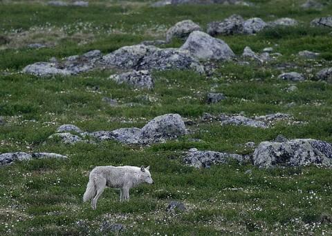 tundrawolf_barrenlands1.jpg