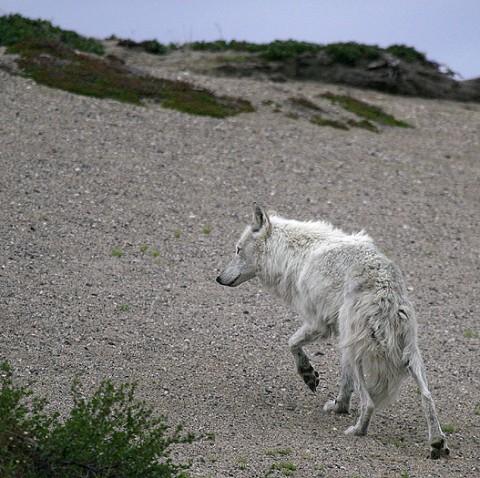tundrawolf_barrenlands21.jpg