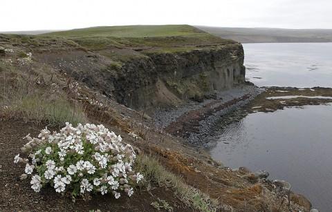 Sea Campion at the coastline of Voladalstorfa, north Iceland.