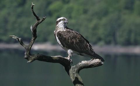 osprey1t.jpg