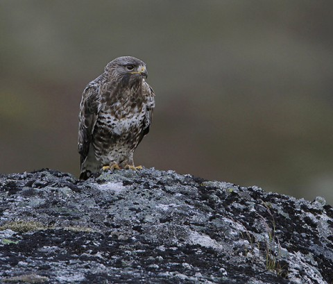 roughleggedbuzzard23.jpg